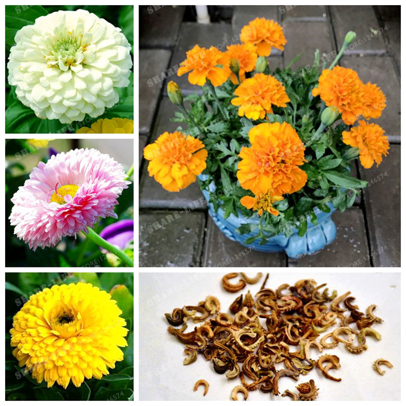 100 PCS Pack Rare Calendula Officinalis Flower Seeds Yellow Pot     100 PCS Pack Rare Calendula Officinalis Flower Seeds Yellow Pot Marigold  Flower