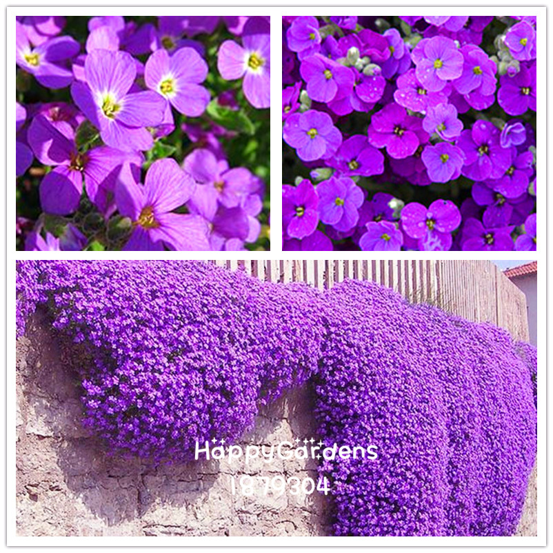 Flower Bonsai 50 Aubrieta Plant Cascade Purple FLOWER