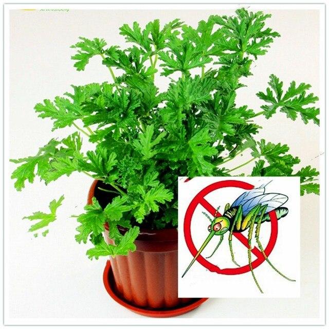 200 قطعة/الحقيبة بونساي البعوض الصد لحديقة المنزل بونساي النباتات. سهلة زراعة المعمرة نبات داخلي