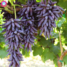 NEW!!30pcs/bag Rare Black Finger Grape Seeds Heirloom Organic Fruit Seed Natural Growth Tree Climbing Plants DIY For Home Garden
