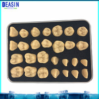 2018 High Quality 28pcs dental teeth model 1.2 Times or 2 Times Permanent Anatomical whole teeth model