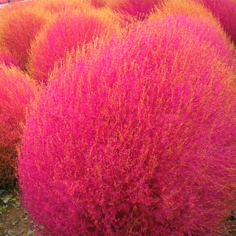 Grass seeds perennial 100pcs kochia scoparia seeds red for Ornamental grass with red flowers