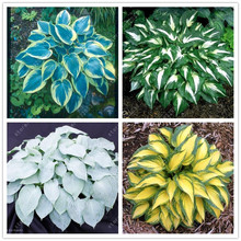 лучшая цена 100 pcs/bag hosta plants, hosta seeds, bonsai flower seeds DIY for home garden plant pot perennial herb a kind of Coleus seeds