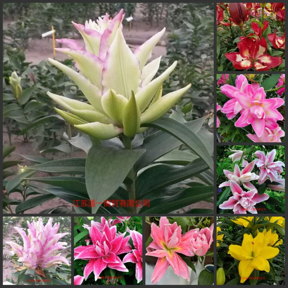Gratis Verzending 50 Stks Verse Real Lelie Bloem Plant Semillas Sementes C1-25 Zacht En Antislippery
