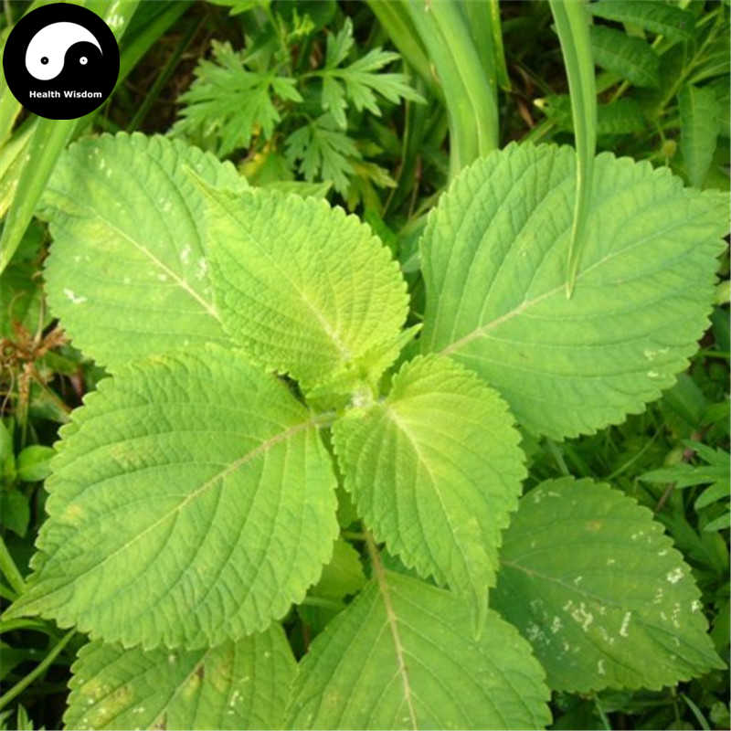 Buy Perilla Herb Vegetables Semente 150pcs Plant Wild Vegetable Green Leaf Basil