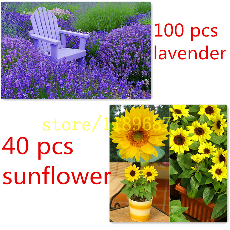 100 lavender seeds send 40 mini sunflower seeds Dwarf sunflower for gift rare flower seeds for home garden planting