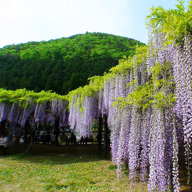 Hot Sale Bonsai Plant White&Purple Wisteria Tree Seeds Indoor ...