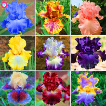 купить 20PCS bonsai Iris plants Bearded Iris plant Rare Iris Phalaenopsis Orchid Bonsai Flower plants Perennial Garden Flower Plants дешево