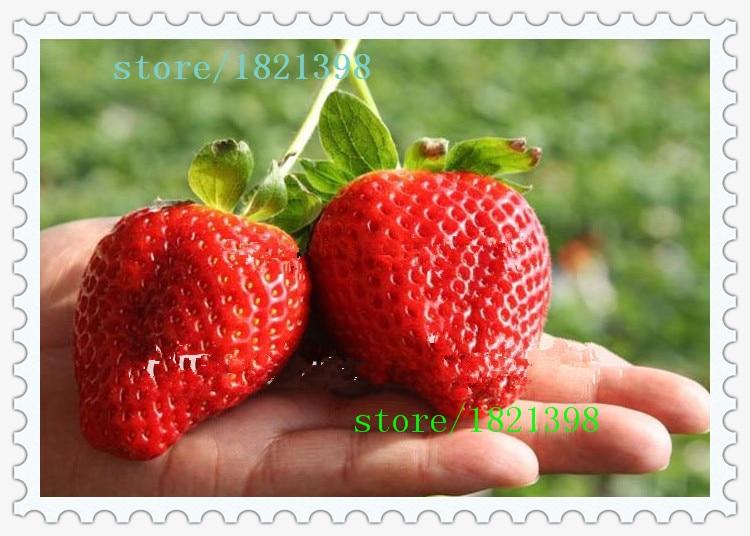 Super big strawberries seeds garden supply, perfume bon