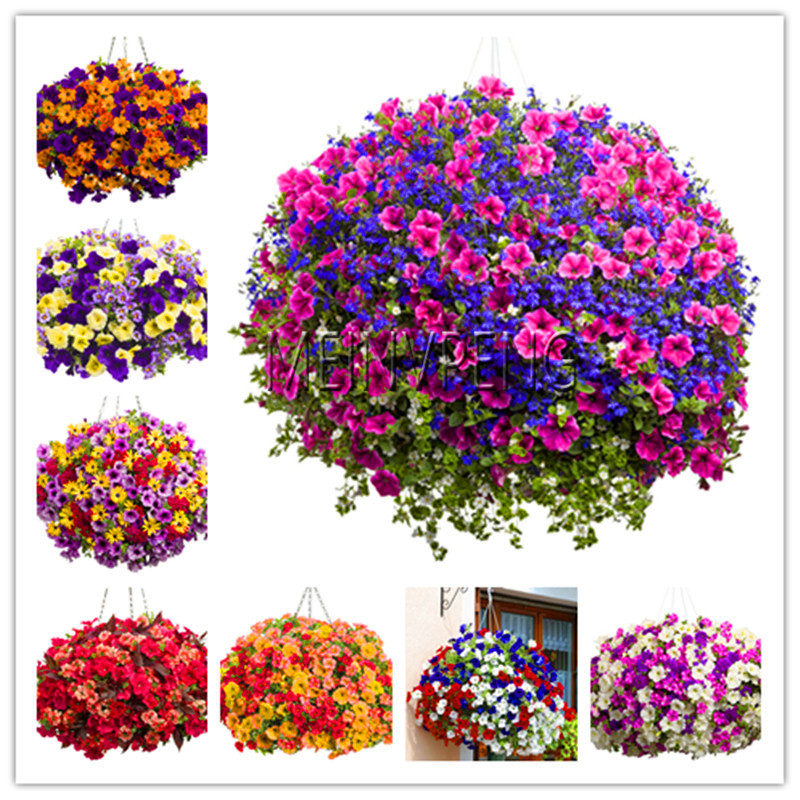 Hot Sale!100pcs/bag Picotee Morning Glory Seeds Rare Petunia Seeds Bonsai Flower Seeds Plant for Home Garden Easy to Grow,#62D6W