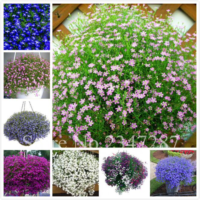 Hot Sale 200 Lobelia Trailing Flower Seeds The Economical Choice For Mass Garden Plantings In Borders Or As Ground Cover