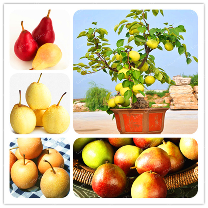 20 Pcs Bonsai Pear Seeds Mini Pear Tree Seeds Super Sweet Fruit Seeds Quality Potted Plants For Home Garden DIY
