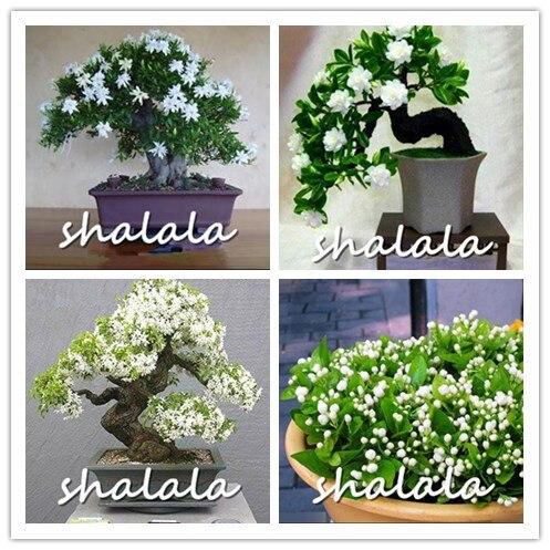 100 pz/lotto Bianco Gelsomini piante Dolce Anima fiore di Gelsomino piante Bonsa