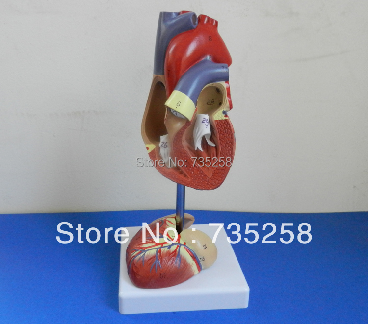 11 Simulation Model Of Cardiac Anatomy Human Heart Model In