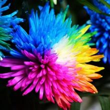 100 real  Rainbow Chrysanthemum Flower Seeds, rare ,new arrival DIY Home Garden flower plant flowers-seed  ornamental-plant