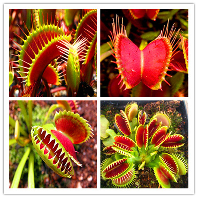 100 PCS Hot-selling  Potted Insectivorous Dionaea Muscipula Giant Clip Flytrap Bonsais Carnivorous Plant Free Shipping