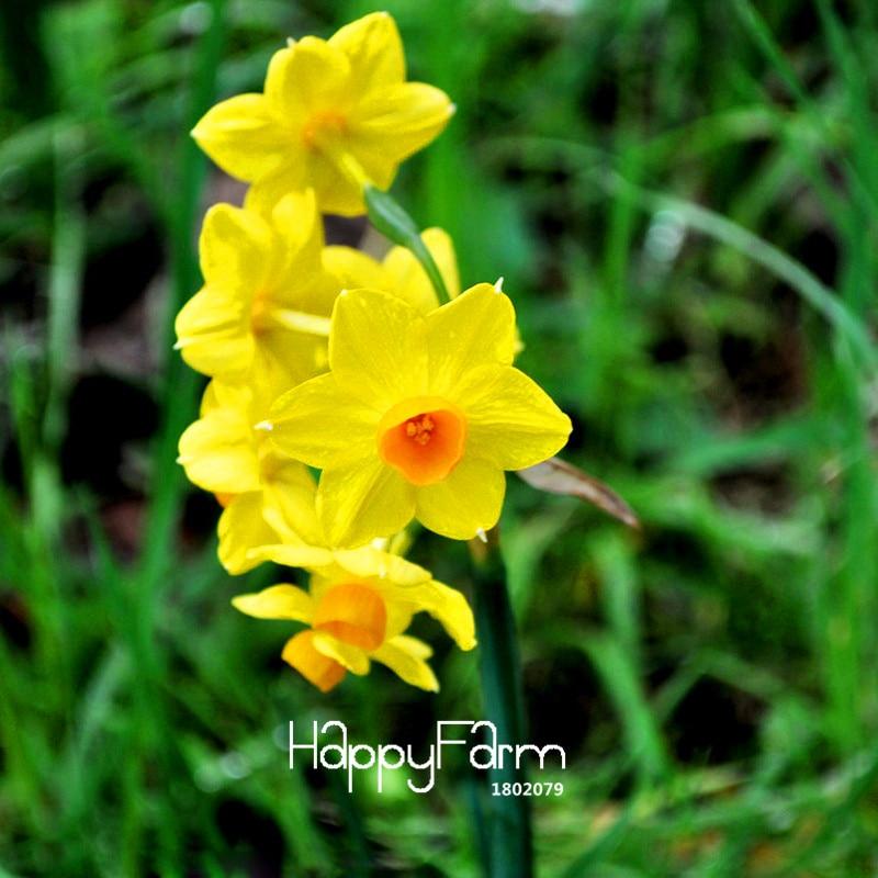 New Arrival!Yellow Daffodils Flowering Plants Daffodi P