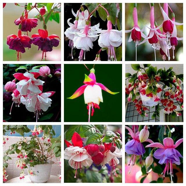 9 Kinds of Fuchsia Perennial Flower Seeds Can be Choo E