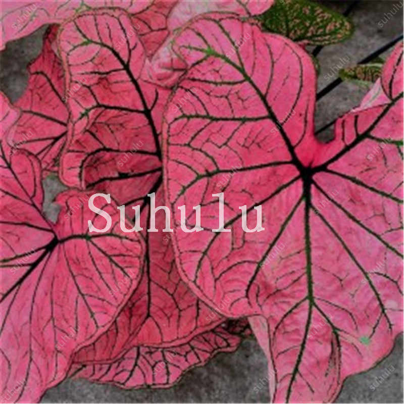 1 حقيبة 100 قطعة Hot البيع اليابانية Caladium Bicolor بونساي شرفة نادرة زهرة زراعة الأعشاب المنزل والحديقة سهلة النمو شحن مجاني