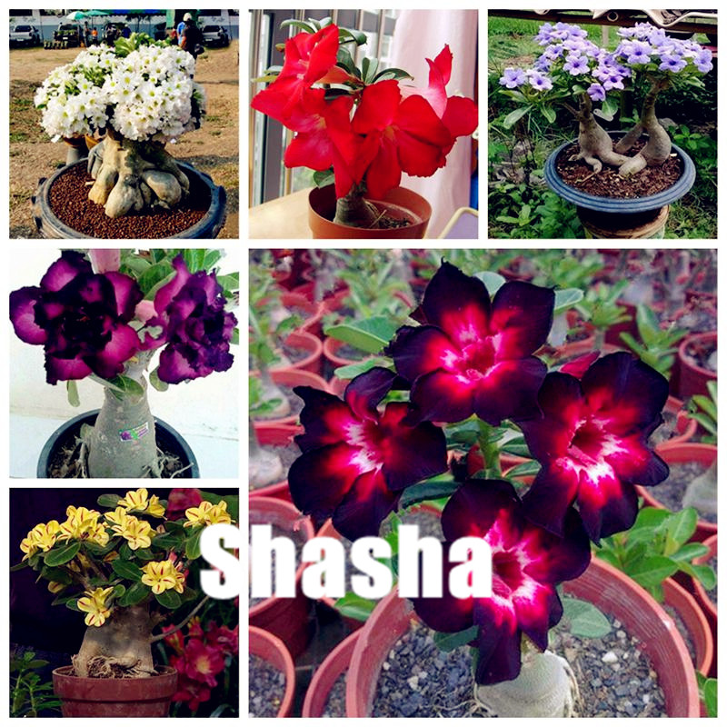 US $0 56 70% OFF|Bright Purple Adenium Desert Rose Bonsai Flower Plants, 2  pcs Indoor Plants Radiation Protection Bonsai planta DIY Home Garden-in