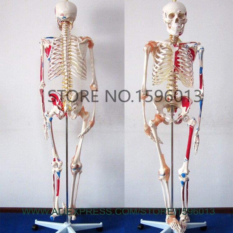 Schön Menschliches Skelett Modell Markiert Fotos - Anatomie Von ...