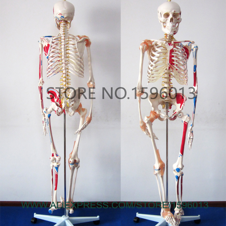 HOT Human Skeleton Model with Muscles and Ligaments, 180cm Tall Skeleton with muscles model
