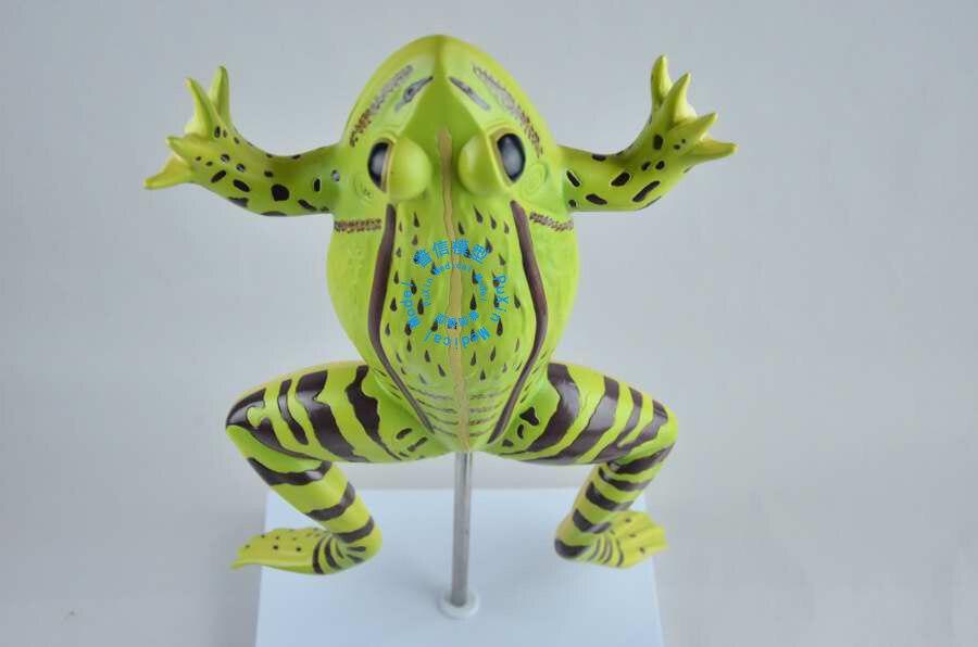 Envío libre y la rana anatomía, Sapo, modelo anatómico anatomía ...