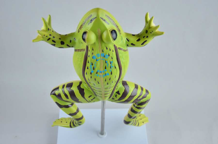 Free shipping&The The frog anatomy model,toad anatomical model ...