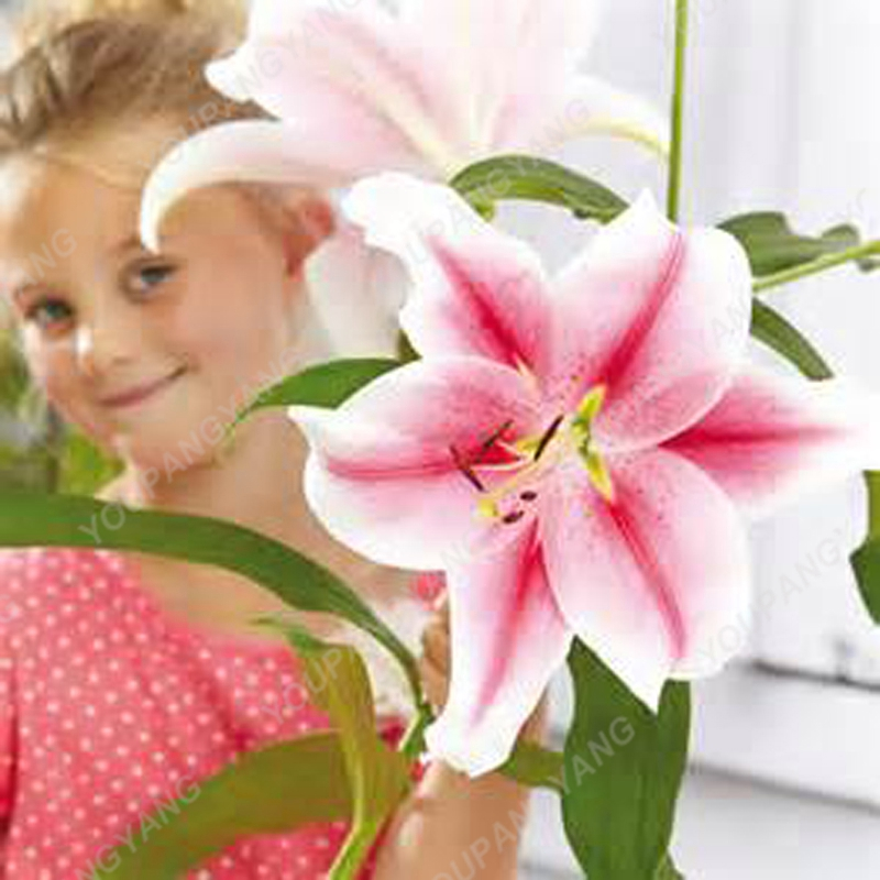 Beautiful Large Bonsai Lilium Flower 200Pcs Colorful Lily Seeds Not Lily Bulbs Rare Plants Potted Home Gardening DIY Flower Seed