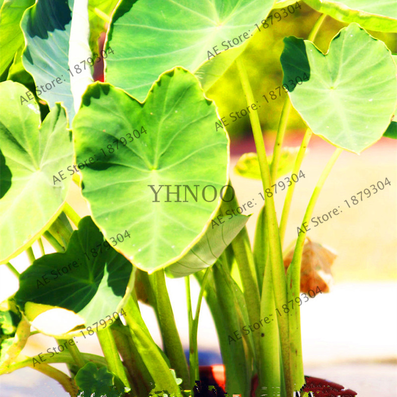 Garden Pots & Planters Zlking 100pcs Rare Green Giant Taro Heirloom Macrorrhiza Perennial Ornamental Leaves Edible Root Vegetable