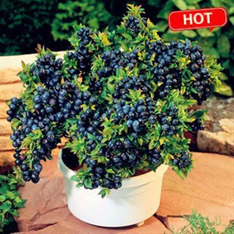 100 seeds/pack Blueberry seeds Bonsai Edible fruit se Z