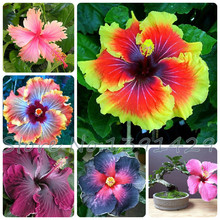Promotion! 200pcs Hibiscus seeds 24kinds HIBISCUS ROSA – SINENSIS Flower seeds potted planters for decoration Free shipping