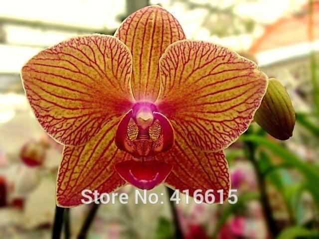 Калейдоскоп орхидея фото