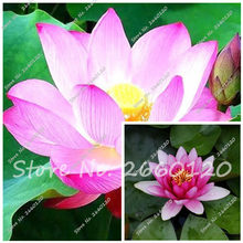 Free Shipping 100% Original 10 PCS Lotus Pink & White Flower Aquarium Plant Outdoor Plant Bonsai For Home Garden Planting(China)