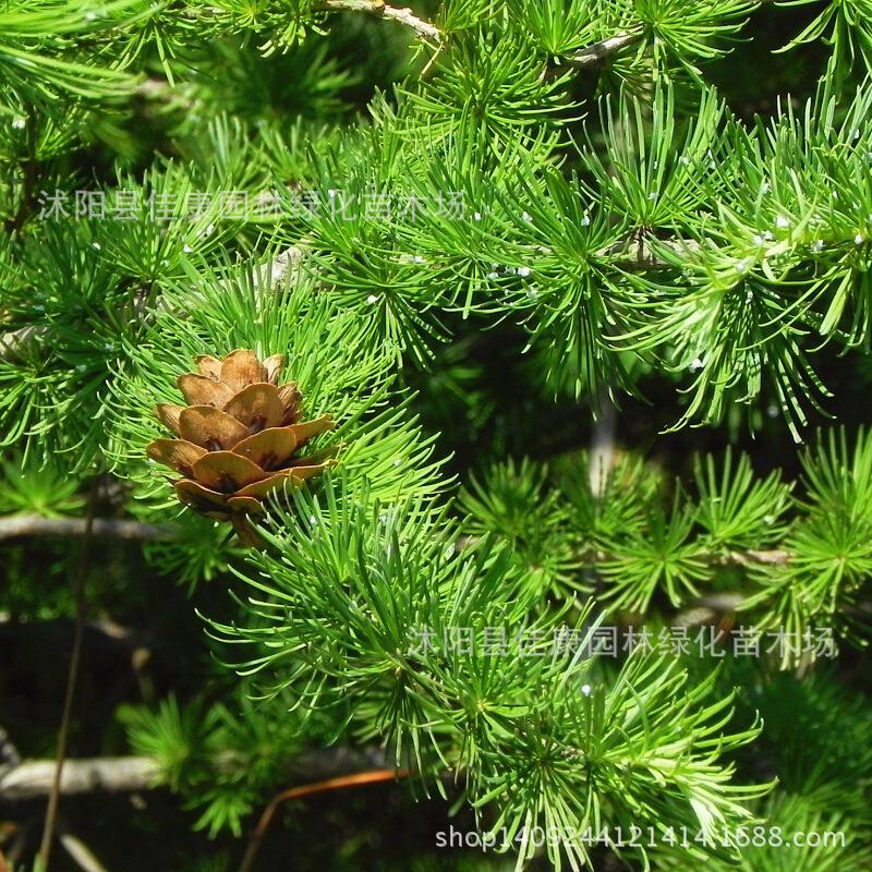 Mélèze arbre bonsaï plante pin alias Jinsong gros doré automne réel coup 200 g/paquet