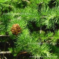 larch tree bonsai plant pine alias Jinsong wholesale golden autumn real shot 200g / Pack