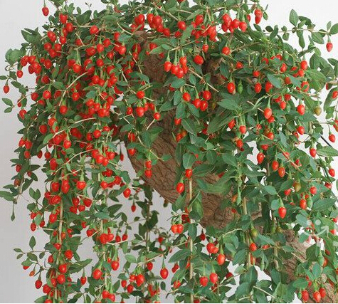 fresh pcs organic goji berry seeds lycium ruthenicum murr, Beautiful flower