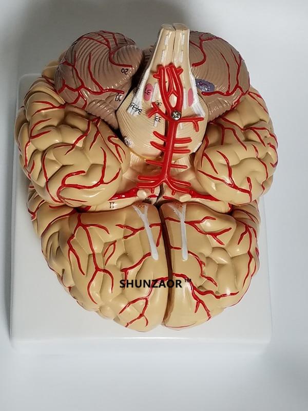 The human body big brain anatomy model free shipping brain model arteries 9parts ,42number Anatomical Model human anatomical model human anatomy ventricles of brain stem between cmac nervous system model brain anatomy model gasen nsj001