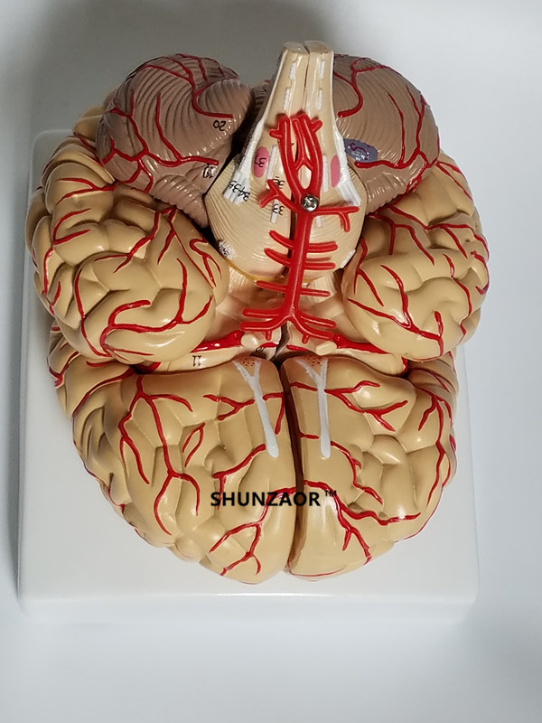 The anatomical brain model arteries 9parts ,42number for learning ...