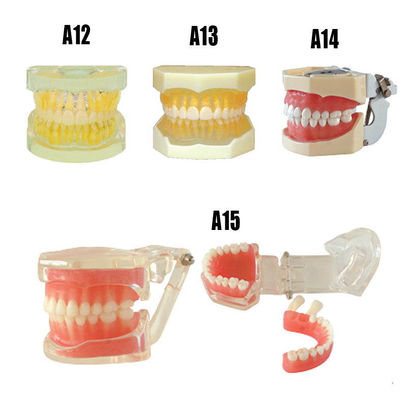 Dental model removable standard teeth practice model with 28pcs hard and soft gum