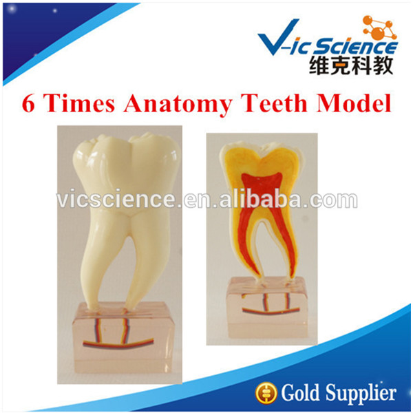 6 Times Anatomy Teeth Model/Teeth model/Dental model teeth model blue dental orthodontics communication model with 4 types of brackets