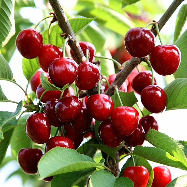 Black Cherry Tree Fruit