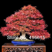 60pcs Japanese Maple Atropurpureum Acer Palmatum Bonsai Seeds