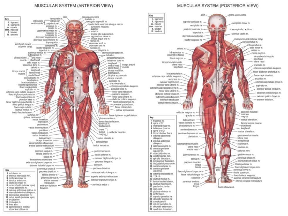 Human Body Anatomical Chart Muscular System Watercolor Inkjet Fabric