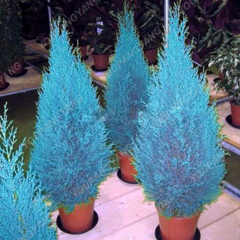 100pcs Blue Cypress Trees plants Rare Platycladus Orientalis Oriental Arborvitae plants Conifer plants DIY Home Garden - 3326-c9cfed.jpg