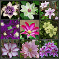 Rare Clematis Climbing Flower Seeds Potted Plant Seeds Balcony Clematis Hybridas 300 PCS
