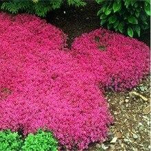 100/Rock Crescione, Aubrieta Cascade Viola SEMI di FIORE, cervo Resistente Superb perenne copertura del suolo, semi di fiore per