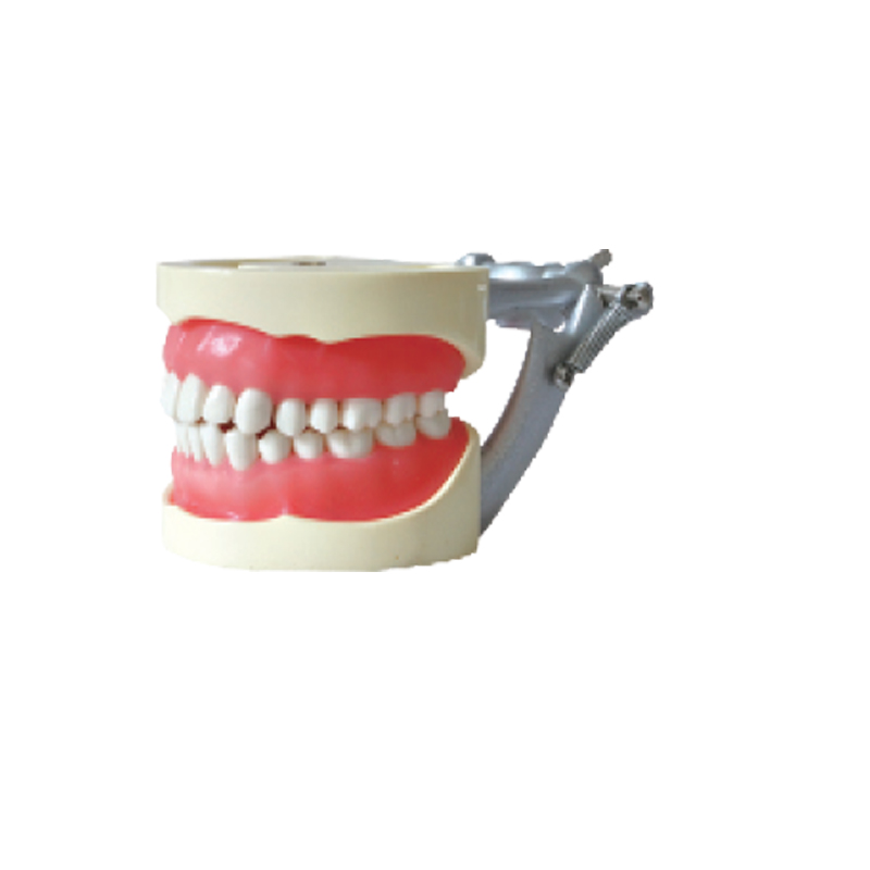 1PC Dental education teaching teeth Standard Model there are 32pcs teeth Soft Gum Screw fixed with DP Articulator  Easy to study
