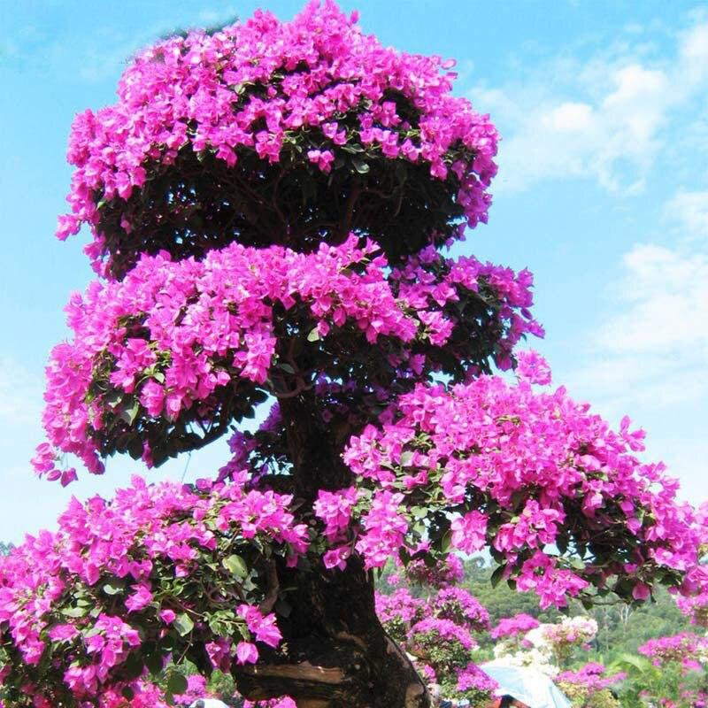 rare bonsai beautiful azalea seeds looks like sakura. Black Bedroom Furniture Sets. Home Design Ideas