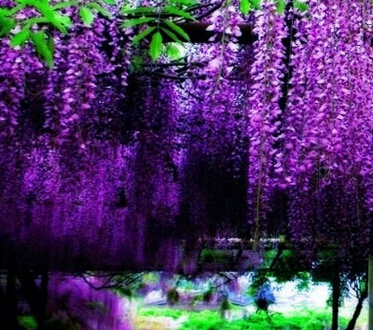 600pcs A Lot Dark Purple Color Wisteria Tree Seed 100 Real Do Not Accept Dispute With Mysterious Gift